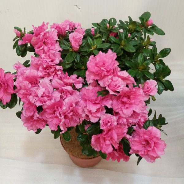 азалия розовая 12