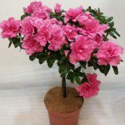 азалия штамбовая розовая